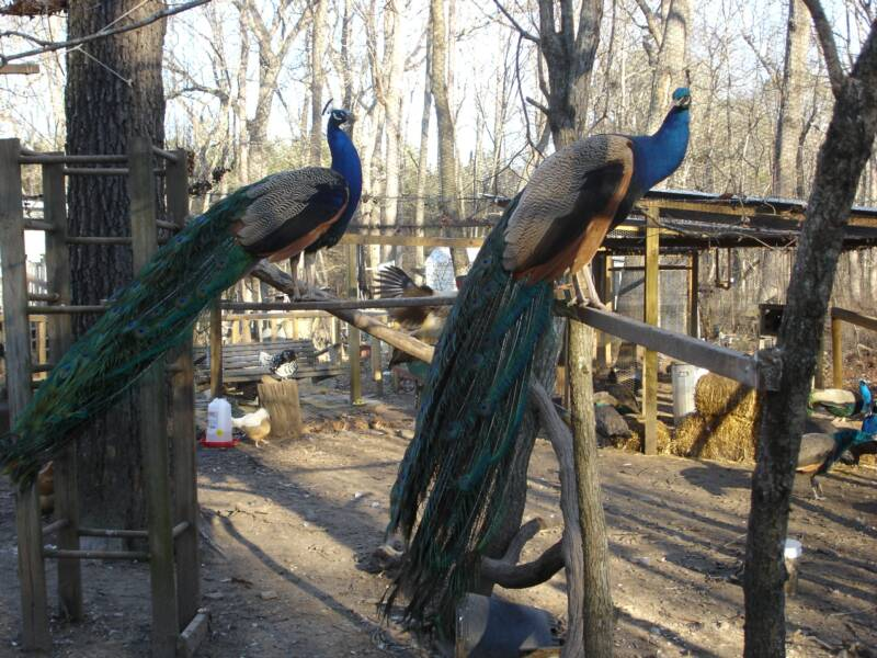peahens and peacocks