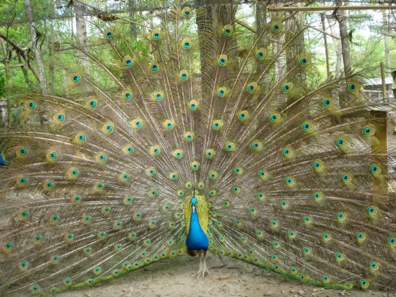 java green peafowl